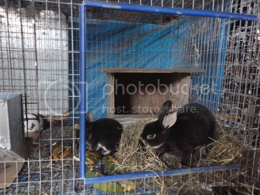 http://i856.photobucket.com/albums/ab126/melsmith2010/Rabbits/DSC04079.jpg