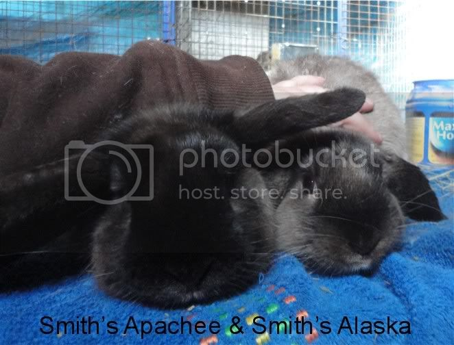 http://i856.photobucket.com/albums/ab126/melsmith2010/Rabbits/SmithsApacheenAlaska3andahalfmonths.jpg