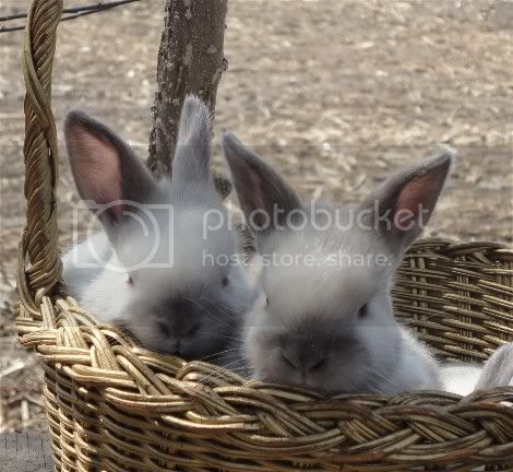 http://i856.photobucket.com/albums/ab126/melsmith2010/Rabbits/ssinbasket2.jpg